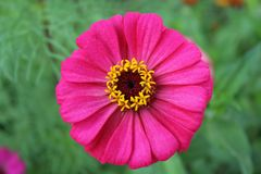 Flower elite varietal chamomile royalty free stock images
