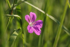 Flower emerging from grass royalty free stock images