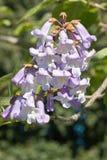 Flower of empress tree, paulownia tomentosa. Flower of paulownia tomentosa, scrophulariaceae family, common name empress tree, princess tree royalty free stock photography