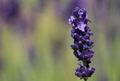 Flower, English Lavender, Lavender, French Lavender Royalty Free Stock Photography