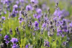 Flower, English Lavender, Lavender, Plant Stock Photos