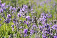 Flower, English Lavender, Lavender, Plant Royalty Free Stock Photos