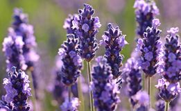 Flower, English Lavender, Lavender, Plant royalty free stock photo