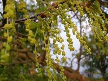 Flower English oak Royalty Free Stock Photo