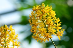 Flower Epidendrum Xanthinum. Exotic yellow Flower Epidendrum Xanthinum Royalty Free Stock Image