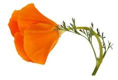 Flower Eschscholzia californica Royalty Free Stock Photos