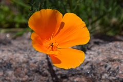 Flower, Eschscholzia Californica, Wildflower, Orange Stock Photos