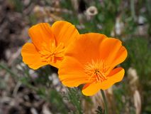 Flower, Eschscholzia Californica, Wildflower, Plant Royalty Free Stock Photos