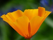 Flower, Eschscholzia Californica, Wildflower, Yellow Stock Photo