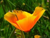 Flower, Eschscholzia Californica, Wildflower, Yellow Stock Photo