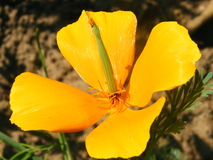Flower Eschscholzia varieties shot closeup. Flower Eschscholzia varieties close-up shot in the summer Stock Image