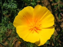 Flower Eschscholzia varieties shot closeup. Flower Eschscholzia varieties close-up shot in the summer Stock Photos