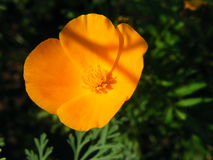 Flower Eschscholzia varieties shot closeup. Flower Eschscholzia varieties close-up shot in the summer Stock Photography