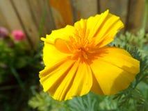 Flower eshsholziya Stock Photo