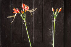 Flower of eucrosia bicolor Ker-Gawl Stock Image