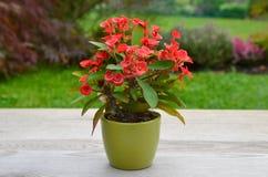 Flower Euphorbia Milii Stock Image