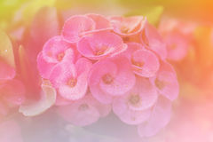 Flower Euphorbia milli Crown of thorns, Christ Thorn. Color stock photos