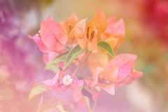 Flower Euphorbia milli Crown of thorns, Christ Thorn. Flower Bougainvillea Morning light at surat Thailand royalty free stock photos