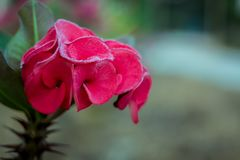Flower Euphorbia milli Crown of thorns, Christ Thorn thailand Royalty Free Stock Image