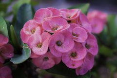 Flower Euphorbia milli Crown of thorns, Christ Thorn in Suratthani Thailand Stock Photography