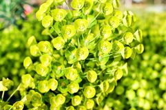 Flower euphorbia myrsinites called spurge Royalty Free Stock Photos