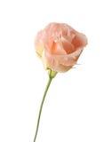 Flower of eustoma Royalty Free Stock Photo