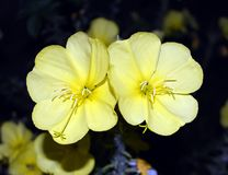A yellow flower that blossoms in the evening and blossoms the whole night stock image