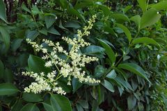 Flower of evergreen ornamental plants for hedge Royalty Free Stock Photography