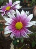 Flower. Explore bunga krisan white violet Royalty Free Stock Photo