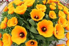 Flower exposition tulips. Amsterdam Keukenhof garden orange beautiful yellow Stock Photography