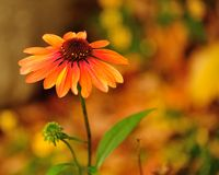 Flower of Fall Royalty Free Stock Photography