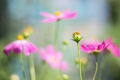 A flower with fallen petals.A gentle and beautiful image, a selective soft focus. royalty free stock photo