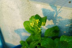 A flower of false pak choi, chinese flowering cabbage or brassica.camprestris L. chinensis stock photography