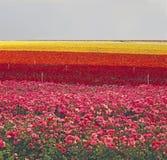 Flower Farm Royalty Free Stock Photography