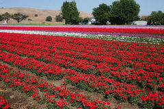 Flower farm in Gilroy Stock Image