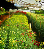 Flower farm nursery in green house Royalty Free Stock Image