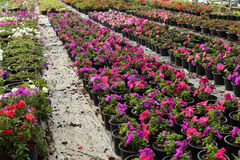 Flower farm nursery Royalty Free Stock Photo