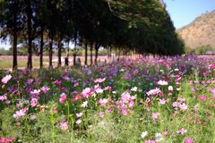 A flower farm in Thailand. Jim's Thombson farm has a blossom flower Royalty Free Stock Images