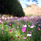 A flower farm in Thailand. Jim's Thombson farm has a blossom flower Royalty Free Stock Photos