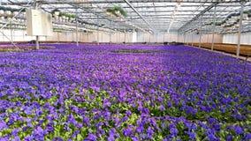 Flower farming, beautiful blue flowers Royalty Free Stock Photo