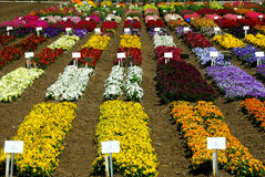 Flower Farming In California Royalty Free Stock Images