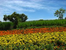 Flower Farms Royalty Free Stock Photo