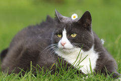 Flower fatty. Chubby obese fluffy cute cat with a daisy on her head being beautiful in the garden Royalty Free Stock Photos