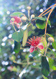 Flower of feijoa tree. Beautiful flower fruit , a tropical tree Feijoa Royalty Free Stock Photography