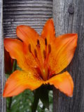 Flower in the fence. Stock Photos