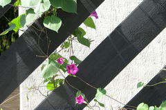 Flower on the fence. Small flower on a black fence on the background of a white wall Royalty Free Stock Photos