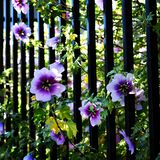 Flower among he fence stock photography