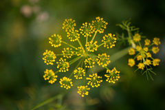 Flower of fennel Royalty Free Stock Photo