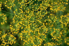 Flower of fennel Royalty Free Stock Photography