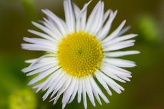 Flower of feverfew in wild Royalty Free Stock Photos